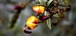 fleur d'haricot