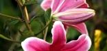 lis rose 01